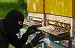 Vol de ruches