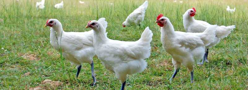 poulets-de-bresse.jpg